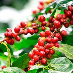 El café de México en Coatepec