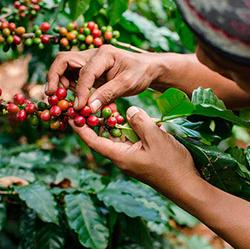 El café en México